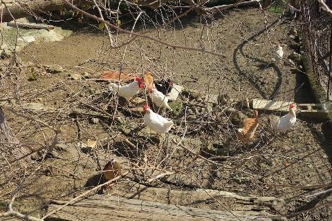 Il passeggio delle galline